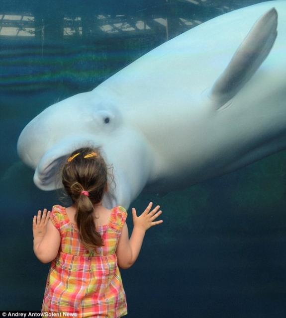 Beluga whale meme